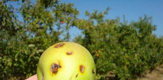 Πότε πρέπει να ψεκάζετε για την καρπόκαψα της μηλιάς