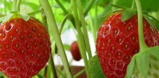 Νέα Μανωλάδα: Η συλλογική προσπάθεια που άλλαξε την καλλιέργεια της φράουλας