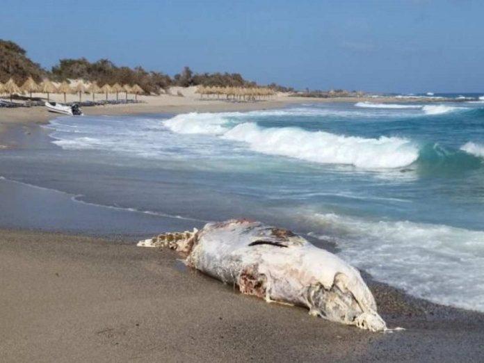 Νεκρή φάλαινα σε παραλία του νησιού Χρυσή της Ιεράπετρας
