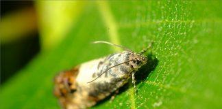 Νυχτόβια πεταλούδα απειλεί τις καστανιές της Κρήτης