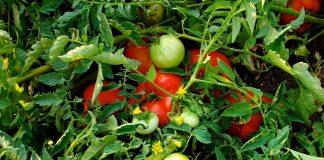 Περονόσπορος και Τuta absoluta πλήττουν τις ντομάτες θερμοκηπίου