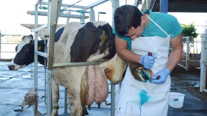 Ποδοκόμος σημαίνει υπεύθυνος για το «πεντικιούρ» των... αγελάδων