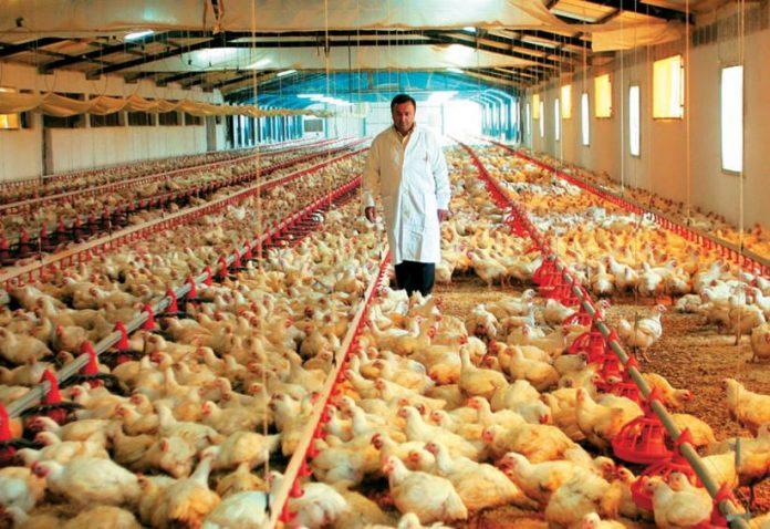 Ψηλά η κατανάλωση πουλερικών αλλά πιέζονται οι τιμές