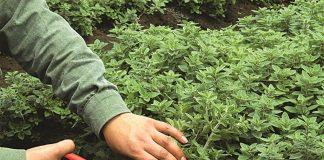 Συστάθηκε ομάδα εργασίας για σχέδιο εθνικής στρατηγικής για αρωματικά και φαρμακευτικά φυτά