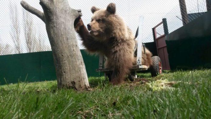 Ειδικό αμαξίδιο για αρκουδάκι με αναπηρία