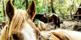 Άλογο σπάνιας φυλής Πίνδου