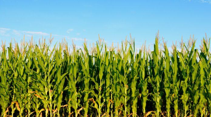 Καλαμπόκι: 8 τρόποι για να αντιμετωπίσετε τις υψηλές θερμοκρασίες