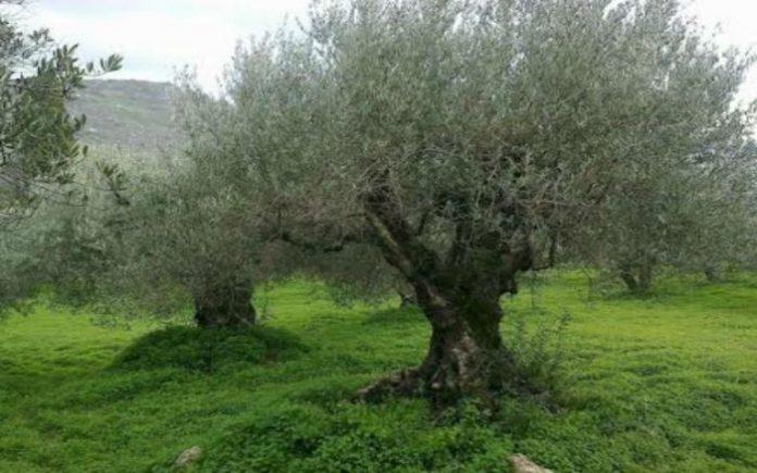 SOS από τον δήμο Ηρακλείου για τον δάκο