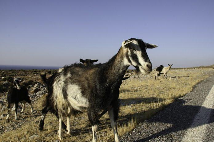 Ενίσχυση της κτηνοτροφίας ζητούν στη Λέσβο