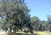 Υπεραιωνόβια βελανιδιά στην Καστανιά Πιερίας