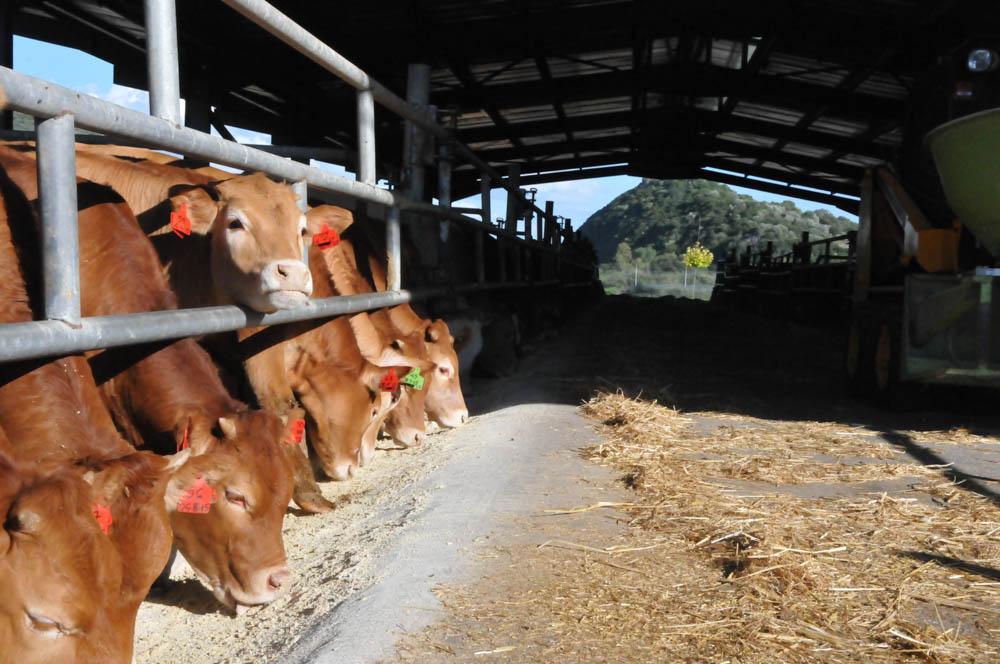 φυλή Limousin Blond Αγρίνιο