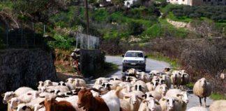 Βόλτα ...στην Περιφερειακή Οδό της Θεσσαλονίκης βγήκαν το πρωί πρόβατα, προκαλώντας αναστάτωση στους διερχόμενους οδηγούς