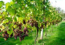 Δικαιότερη η κατανομή των αδειών φύτευσης νέων αμπελώνων - Προτεραιότητα σε καλλιεργητές με μικρό κλήρο