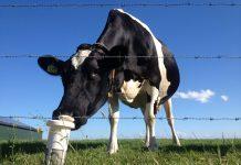 Σε ελεύθερη πτώση οι τιμές στο αγελαδινό