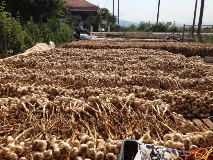 Γιορτή σκόρδου στον Πλατύκαμπο Λάρισας