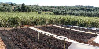 Δύσκολα παραμένουν τα πράγματα για τη σταφίδα στη Πελοπόννησο