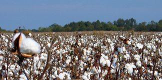 Απειλείται με ολική καταστροφή η βαμβακοκαλλιέργεια στον Δήμο Μαρωνείας – Σαπών