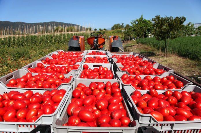 Ενίσχυση de minimis 50 ευρώ/ στρέμμα στους παραγωγούς βιομηχανικής ντομάτας του Δομοκού