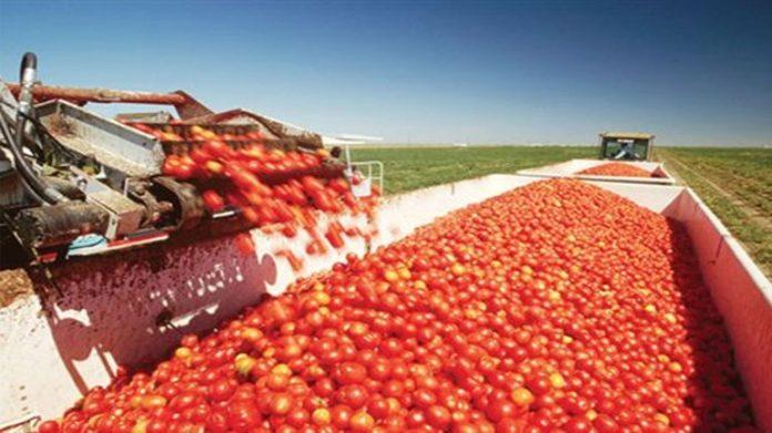 Ξεκινάει τις παραλαβές ντομάτας την Πέμπτη 12/7 η «ΚΥΚΝΟΣ»