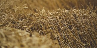 2.046 εκατ. τόνοι η παγκόσμια παραγωγή δημητριακών