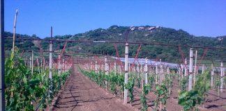 Ανομβρία και κόστος παραγωγής καταδικάζουν τους αμπελοκαλλιεργητές