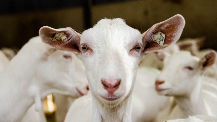 Παράταση έως 24/4 της υποβολής αιτήσεων στη βιολογική κτηνοτροφία