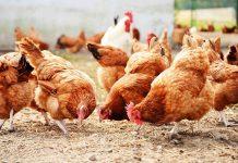 Ισορροπημένη εκτροφή για υγιή και παραγωγικά ζώα