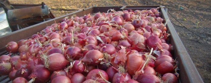 Μύκητας απειλεί το ανοιξιάτικο κρεμμύδι στη Βοιωτία