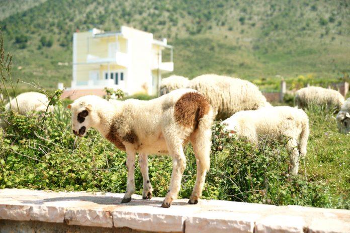 Έξτρα 20% ενίσχυση στα Σχέδια Βελτίωσης των ορεινών κτηνοτρόφων