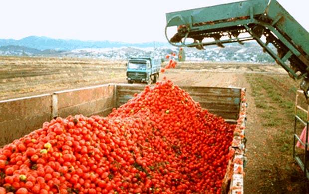 Κακό σερί για τη βιομηχανική ντομάτα της Λάρισας