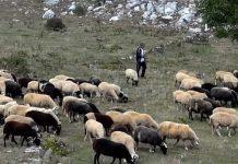 Έως 12/4 οι επιστροφές ποσών για όσους απεντάχθηκαν από τις αυτόχθονες φυλές αγροτικών ζώων λέει ο ΟΠΕΚΕΠΕ
