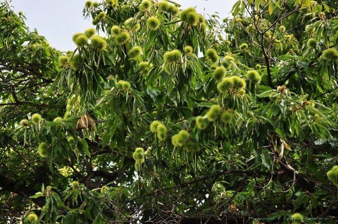 Η σφήκα απειλεί τα καστανοχώραφα της Δυτικής Φθιώτιδας