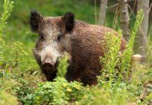 Τα αγριογούρουνα καταστρέφουν την παραγωγή στην Αρκαδία