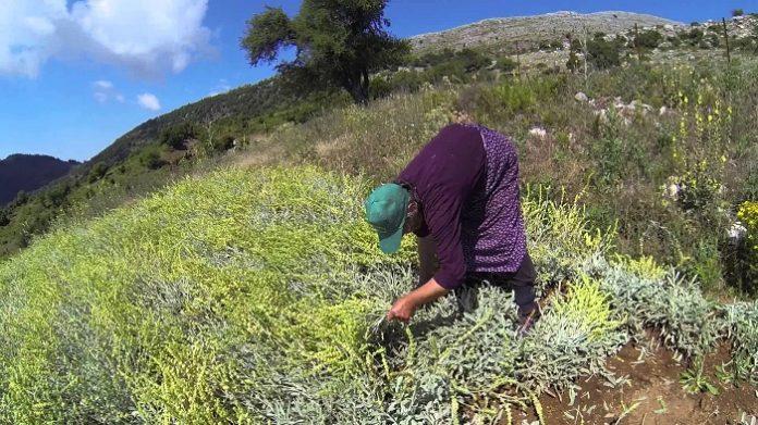 Το τσάι του βουνού είναι μια καλλιέργεια που αποδίδει, αν τη φροντίζεις