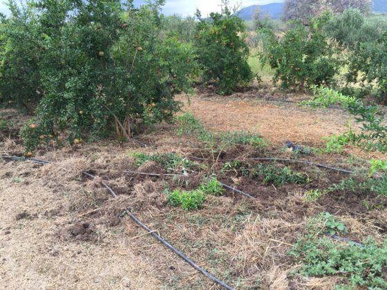 Σε απόγνωση οι αγρότες, κάνουν ό,τι μπορούν για να σταματήσουν τα αγριογούρουνα