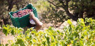 Οι ποικιλίες που προτιμούν να φυτεύουν οι αμπελουργοί την τελευταία 10ετία