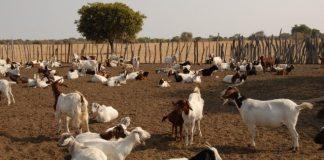 Αν. Μακεδονία – Θράκη: Προληπτική ενημέρωση κτηνιάτρων για την PPR