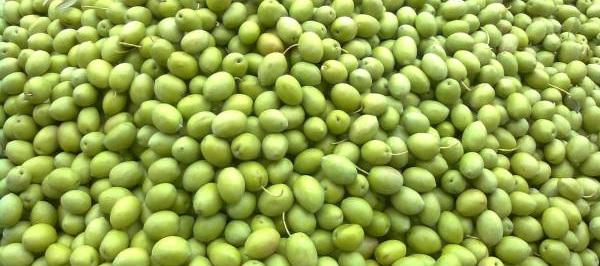 Φθιώτιδα: Μειωμένες σε σχέση με πέρυσι οι τιμές της πράσινης ελιάς