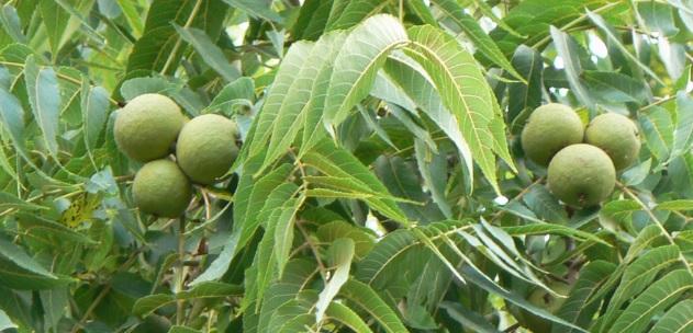 Φθιώτιδα: Σταθερό το καρύδι