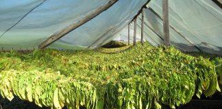 Σέρρες: Τον κίνδυνο να μείνουν ασυγκόμιστα έως και 9.000 στρ. καπνού, λόγω έλλειψης εργατών, επισημαίνουν οι καπνοπαραγωγοί