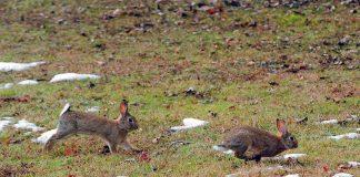 Λήμνος: Καταστροφές από την εξάπλωση του άγριου κουνελιού