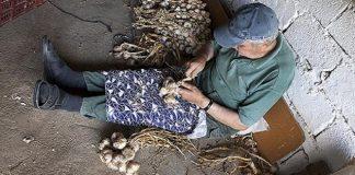 Μια παραδοσιακή καλλιέργεια του σκόρδου, που κρατά από την Τουρκοκρατία