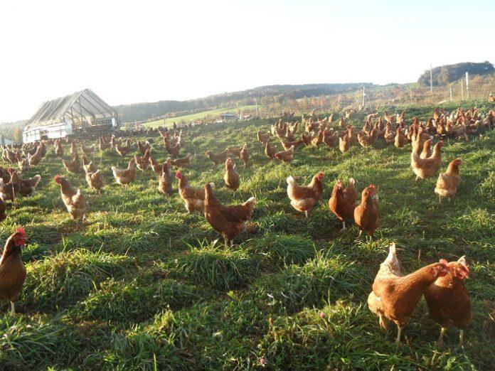 Οι προκλήσεις της βιολογικής εκτροφής για υγιή πουλερικά και αβγά