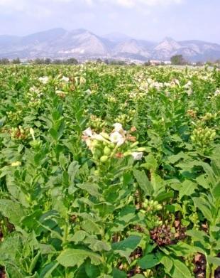Οριακά τα εισοδήματα από τη... μοναχική καλλιέργεια του καπνού στη Λοκρίδα