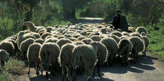 Eντοπίστηκαν κλεμμένα πρόβατα στο Ηράκλειο μετά από καταξίωξη ζωοκλεφτών