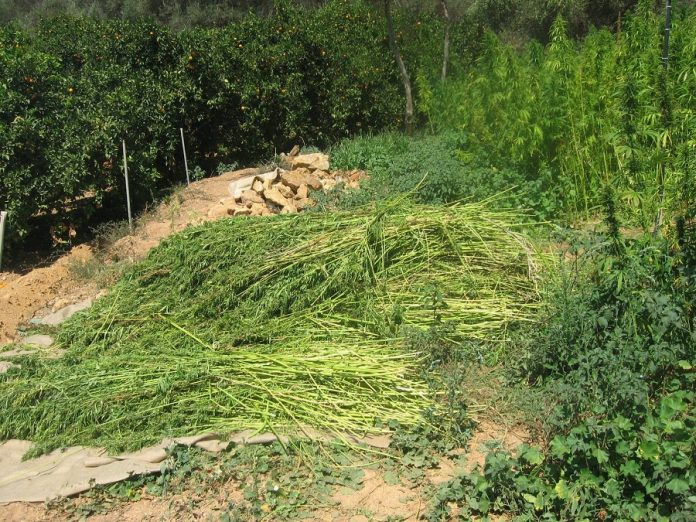 Ολοκληρώθηκε ο θερισμός των πρώτων πειραματικών καλλιεργειών κλωστικής κάνναβης