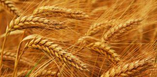 ΑΣ Αμφίκλειας: Τον παπά… παίζουν έμποροι σιτηρών