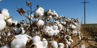 Προειδοποιήσεις για την φυτοπροστασία στη βαμβακοκαλλιέργεια