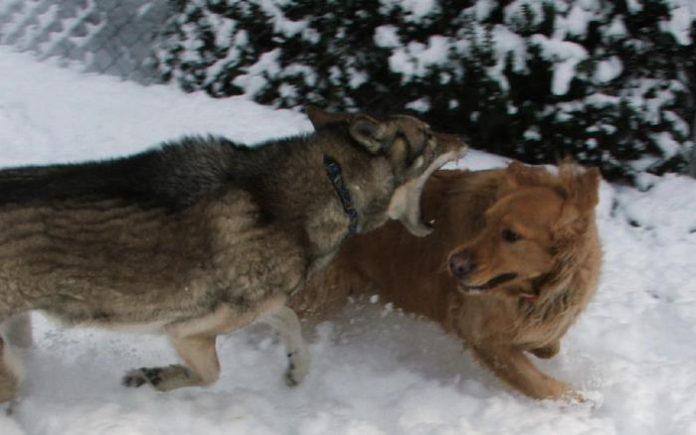 Εφιάλτης για τους κυνηγούς οι λύκοι