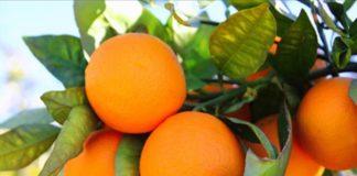 Στα 62 ευρώ/ στρέμμα η συνδεδεμένη για πορτοκάλια